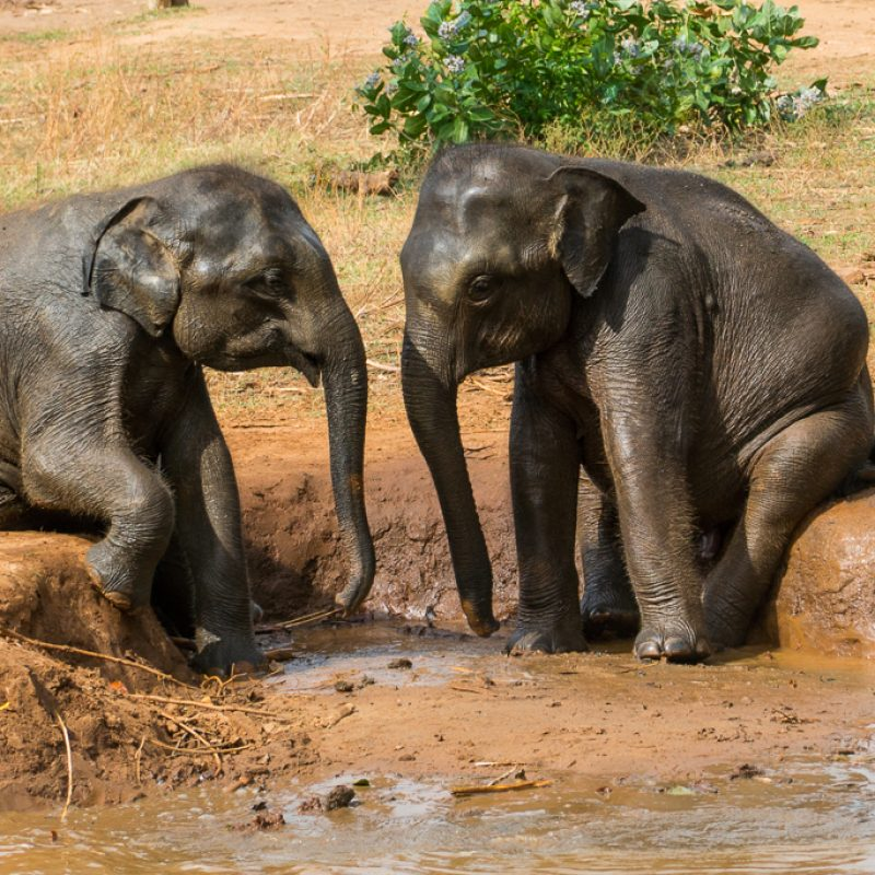 Sri Lanka slonie